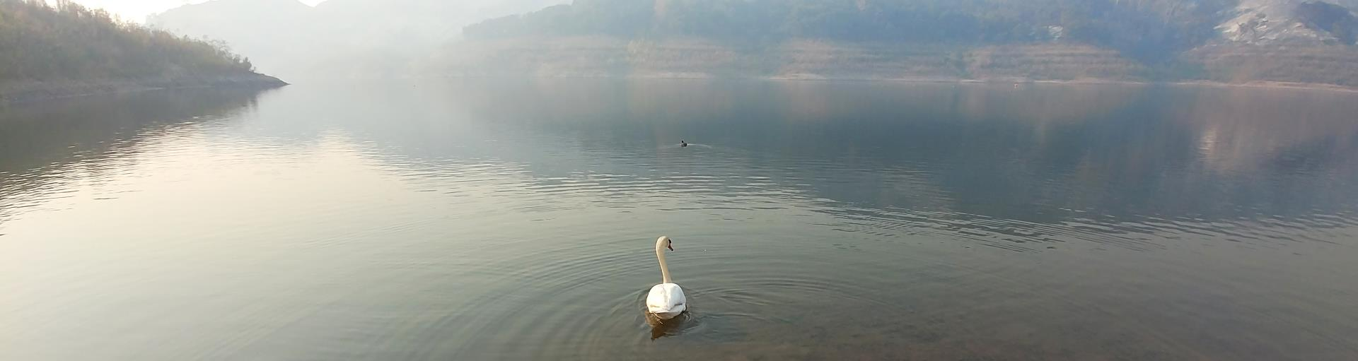 A swan at Lake Casitas